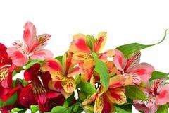 Fleur de freesia Images libres de droits