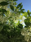 Fleur de Fringetree photos stock