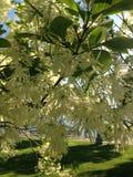 Fleur de Fringetree photo libre de droits