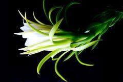 Fleur de fruit de dragon Photos stock