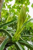 Fleur de fruit du dragon Photo stock