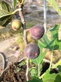 Fleur de fruit de ficus image libre de droits