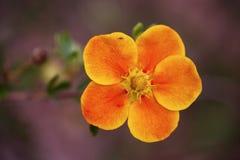 Fleur de fruticosa de Potentilla Images libres de droits
