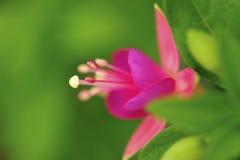 Fleur de Fuschia Photos stock