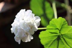 Fleur de géranium Photo stock