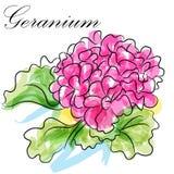 Fleur de géranium Photos libres de droits