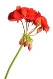 Fleur de géranium Images libres de droits