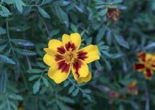 Fleur de géranium de jaune de vue de plan rapproché avec le centre foncé, Galatina, Italie Images stock