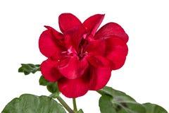 Fleur de géranium, lat Photo libre de droits