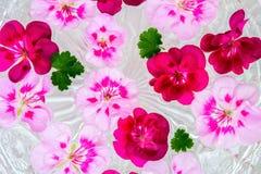 Fleur de géranium de pélargonium sur le fond de l'eau Images stock