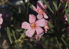 Fleur de géranium de rose de vue de plan rapproché au soleil Photo libre de droits
