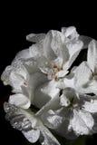 Fleur de géranium sur un fond noir image stock