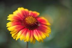 Fleur de Gaillardia Photographie stock libre de droits