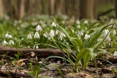 Fleur de galanthus de perce-neige Images stock