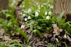 Fleur de galanthus de perce-neige Images libres de droits