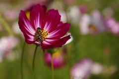 Fleur de Galsang Photographie stock