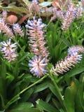 Fleur de gamosepala d'Aechmea Images stock