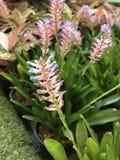 Fleur de gamosepala d'Aechmea Photos libres de droits
