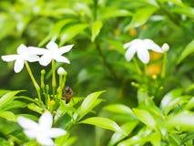 Fleur de gardénia Image libre de droits