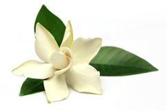 Fleur de gardénia ou de Gondhoraj de l'Asie du sud Photo stock