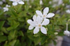 Fleur de gardénia sur le vert Images libres de droits