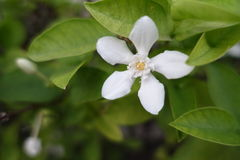 Fleur de gardénia sur le vert Image stock