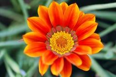 Fleur de Gazania Photos libres de droits