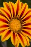 Fleur de Gazania photo libre de droits