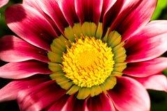 Fleur de Gazania Image libre de droits