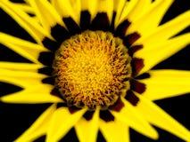 Fleur de Gazania Images libres de droits