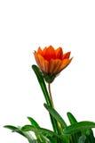 Fleur de gazania d'isolat sur un fond blanc Photographie stock