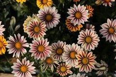 Fleur de Gazania dans le jardin Photographie stock libre de droits