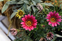 Fleur de Gazania dans le jardin Photographie stock