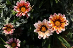 Fleur de Gazania dans le jardin Image stock