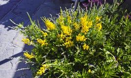 Fleur de genêt Photographie stock libre de droits
