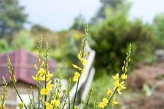 Fleur de genêt Photo libre de droits