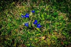 Fleur de gentiane photos libres de droits