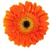 Fleur de Gerber Photos libres de droits