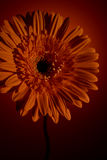 Fleur de Gerber sur un fond orange Photos stock