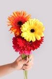 Fleur de Gerbera à disposition sur le fond blanc d'isolement Images libres de droits