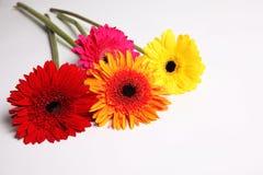 Fleur de Gerbera à l'arrière-plan blanc d'isolement Photographie stock