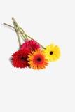 Fleur de Gerbera à l'arrière-plan blanc d'isolement Image libre de droits