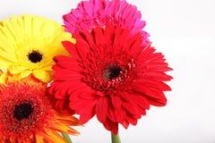 Fleur de Gerbera à l'arrière-plan blanc d'isolement Photo libre de droits