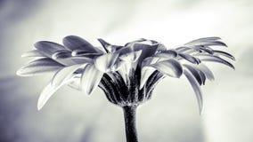 Fleur de Gerbera Photographie stock libre de droits