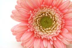 Fleur de Gerbera Photographie stock