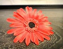 Fleur de Gerbera Photo stock