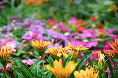 Fleur de Gerbera Image stock