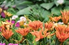 Fleur de Gerbera photo libre de droits