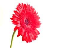 Fleur de Gerbera au-dessus de blanc Images stock