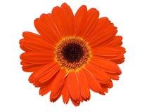 Fleur de Gerbera d'isolement au-dessus du blanc Image libre de droits